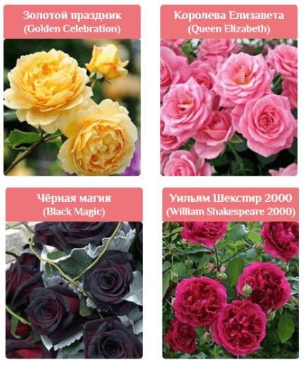 Сорта Королевских роз